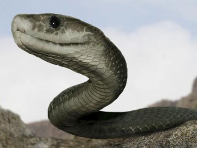 Sốc độc lạ: Thực hư thông tin rắn khổng lồ ăn thịt trẻ con ở Indonesia