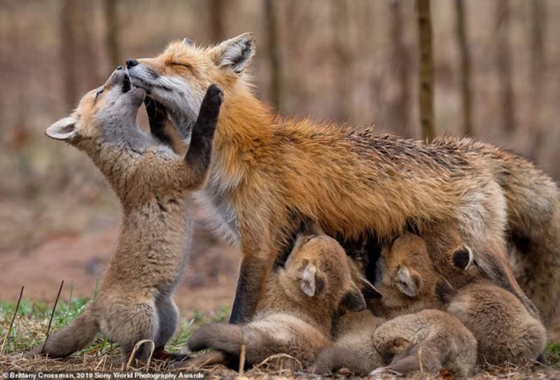 Cáo mẹ chăm sóc đàn con nhỏ ở Canada. Ảnh: Brittany Crossman