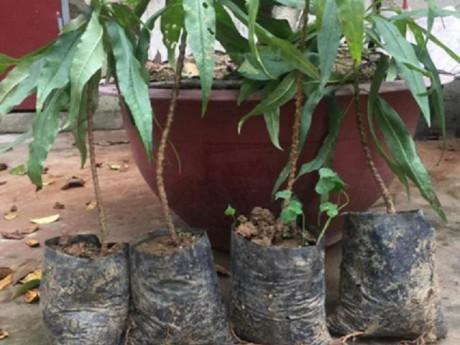 Quà Tết 2019: 3 triệu đồng một nhánh đào bằng chiếc đũa