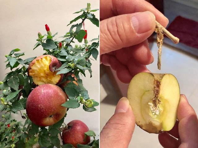 Mua cây táo lùn nở hoa dâm bụt, mẹ trẻ hốt hoảng khi được khuyên bón phân bằng… keo 502